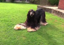 10 Best Afghan Hound Essentials, Accessories, and Toys (Updated 2020)