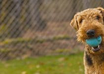 Best Airedale Terrier Essentials, Accessories, And Toys
