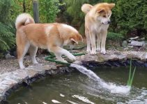 Best Akita Essentials, Accessories, And Toys