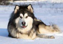 10 Best Alaskan Malamute Essentials, Accessories, and Toys