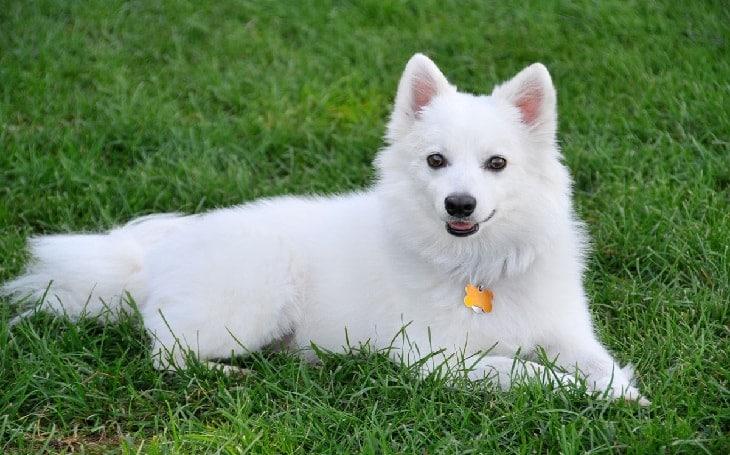 10 Best American Eskimo Dog Essentials