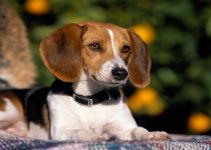 10 Best American Foxhound Essentials, Accessories, and Toys