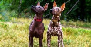 Best American Hairless Terrier Accessories Toys Essentials