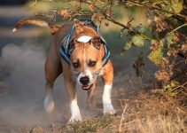 Best American Staffordshire Terrier Essentials Accessories Toys