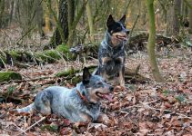 Best Australian Cattle Dog Essentials, Accessories, And Toys