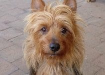 10 Best Australian Terrier Essentials, Accessories, and Toys