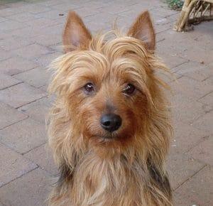 Best Australian Terrier Essentials, Accessories, and Toys