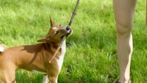 Best Basenji Essentials, Accessories, And Toys