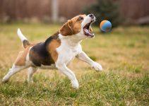 10 Best Indestructible Dog Balls (Reviews Updated 2021)