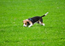 10 Best Beagle Essentials, Accessories, and Toys