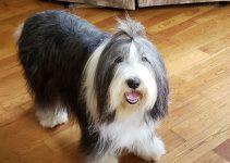 Best Bearded Collie Essentials, Accessories, And Toys