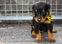 10 Best Beauceron Essentials, Accessories, and Toys