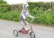 10 Best Bedlington Terrier Essentials, Accessories, and Toys