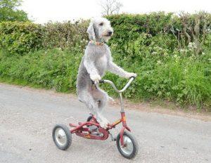 Best Bedlington Terrier Essentials, Accessories, And Toys