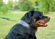 Best Collars For Rottweilers Review