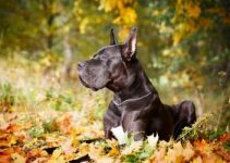 5 Best Great Dane Dog Collars (Reviews Updated 2021)