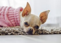10 Best Chihuahua Collars