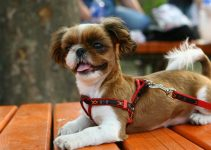 10 Best Chihuahua Harnesses