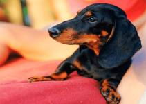 5 Best Dog Beds For Dachshunds Reviews