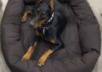 5 Best Dog Beds For Doberman Pinschers