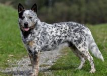 5 Best Dog Beds for Australian Cattle Dogs (Reviews Updated 2021)