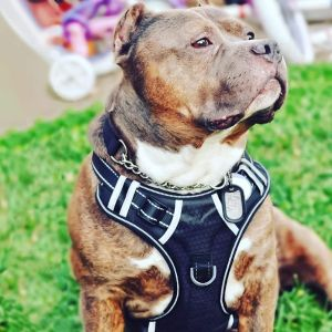 Babyltrl Big Dog Harness No Pull Adjustable Pet Reflective Oxford Soft Vest For Large Dogs Easy Con