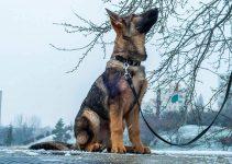 5 Best Dog Collars for German Shepherds (Reviews Updated 2021)