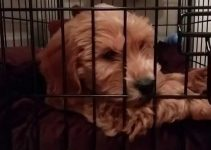 Best Dog Crate For Goldendoodle Review