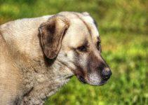 Best Dog Food For Anatolian Shepherds