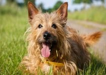 Best Dog Food For Australian Terriers