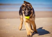5 Best Dog Toys for German Shepherds (Reviews Updated 2021)