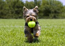 5 Best Dog Toys for Yorkies (Reviews Updated 2021)