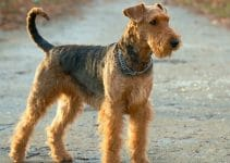 Dog Food For Airedale Terriers