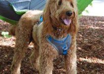 5 Best Dog Harnesses for Goldendoodles (Reviews Updated 2021)