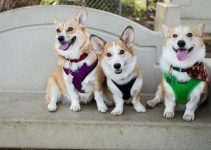 5 Best Harnesses for Corgis (Reviews Updated 2021)