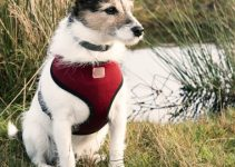 5 Best Harnesses for Jack Russell Terriers (Reviews Updated 2021)