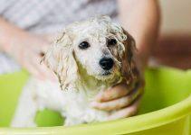 Shampoo For Poodles