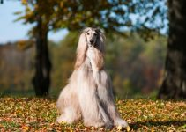 5 Best Dog Foods for Afghan Hounds (Reviews Updated 2021)