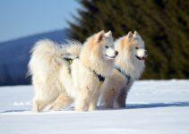 5 Best Dog Foods for American Eskimos (Reviews Updated 2021)