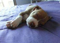 5 Best Dog Beds For Pitbulls