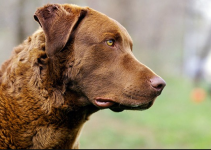 5 Best Dog Brushes for Chesapeake Bay Retrievers (Reviews Updated 2021)