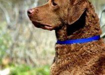 5 Best Dog Collars for Chesapeake Bay Retrievers (Reviews Updated 2021)