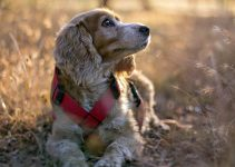 5 Best Dog Collars for Cocker Spaniels (Reviews Updated 2021)