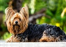 5 Best Dog Collars for Yorkshire Terriers (Reviews Updated 2021)