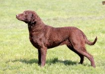 5 Best Dog Crates For Chesapeake Bay Retrievers