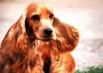 5 Best Dog Foods For Cocker Spaniels (reviews Updated 2020)