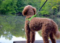 5 Best Dog Harnesses For Poodles
