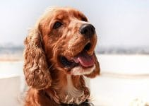 5 Best Dog Muzzles for Cocker Spaniels (Reviews Updated 2021)