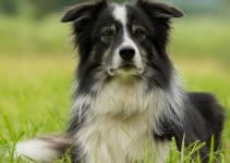 5 Best Dog Shampoo for Border Collies (Reviews Updated 2021)