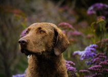 5 Best Dog Shampoos For Chesapeake Bay Retrievers